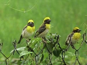 BirdingPost_BayaWeavers