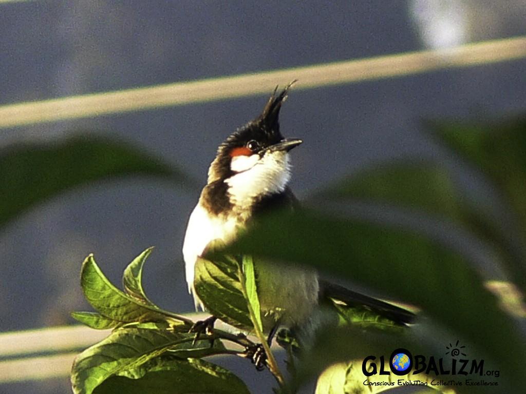 BirdingPost_Bulbul