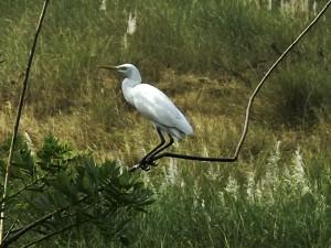BirdingPost_CattleEgret