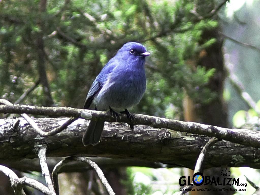 BirdingPost_NilgiriFlycatcher
