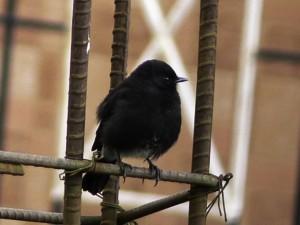 BirdingPost_PIedBushchat