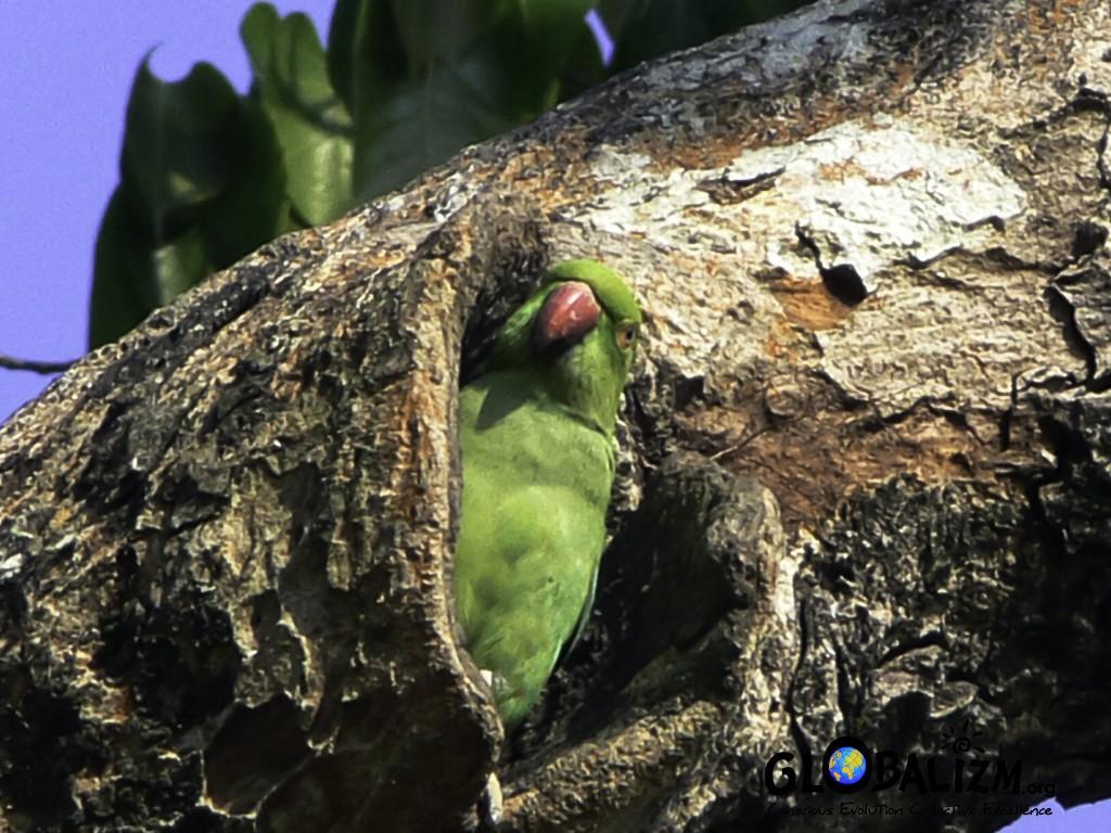 BirdingPost_RRParakeet