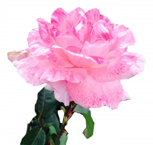 EcoGarden_Rose