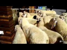 Sheep Flock into a Store